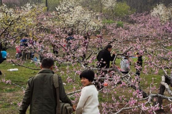 茅仙洞桃花盛开